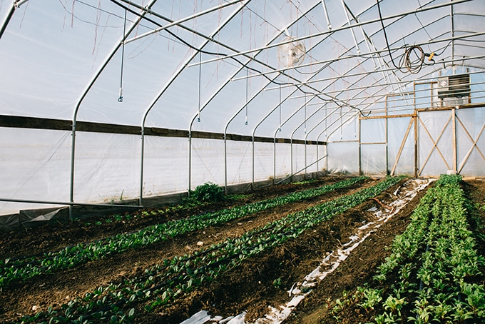 Locally grown organic produce growing in a high tunnel at Open Book Farm in Frederick, MD.