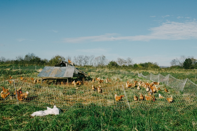 An image of pastured chickens in a mobile coop at Open Book Farm, one of our favorite eat local sources.