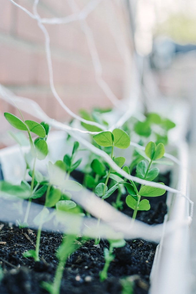 A small container filled with peas shoots in a backyard garden. Eat local doesn't get any fresher (or more convenient) than backyard gardening!